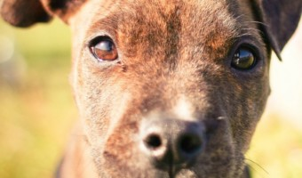 Got an escape artist on your hands? This installment of pitbull puppy training tips will help you figure out how to keep him in your yard!