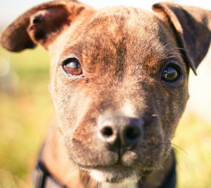The Lovable, Zany Pit: Funny Quotes About Pitbulls