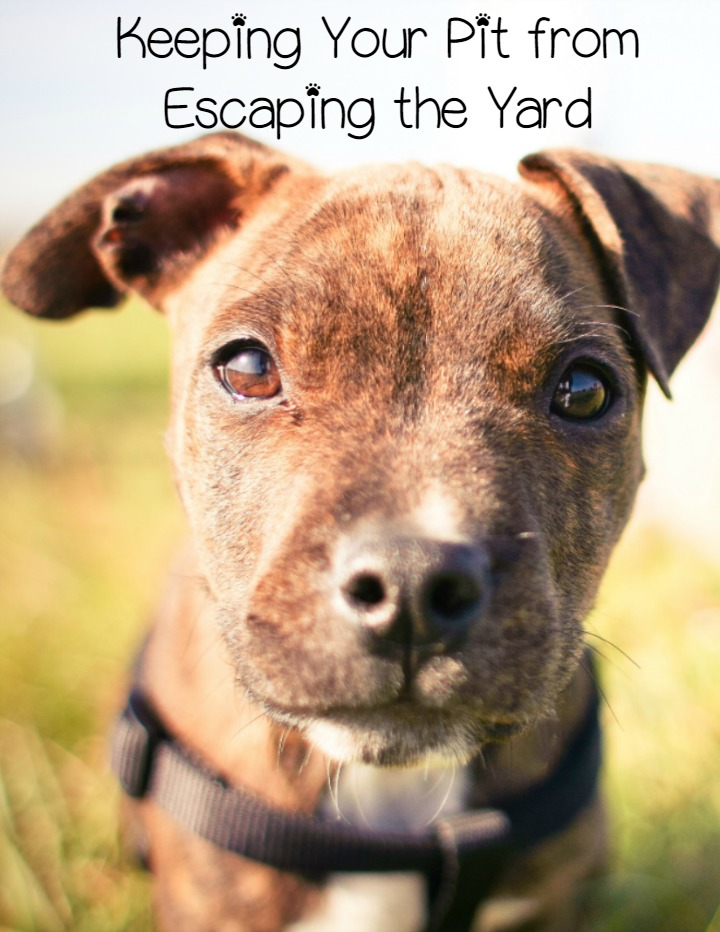 Pitbull Puppy Training Tips Keeping Them In The Yard
