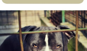 Lots of people wonder if they should board their pitbull puppy or hire a dog sitter. What works for one pitbull puppy might not work for another.