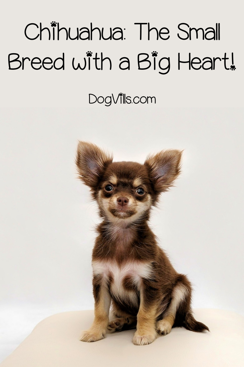 The Chihuahua: Small Breed with a Big Heart