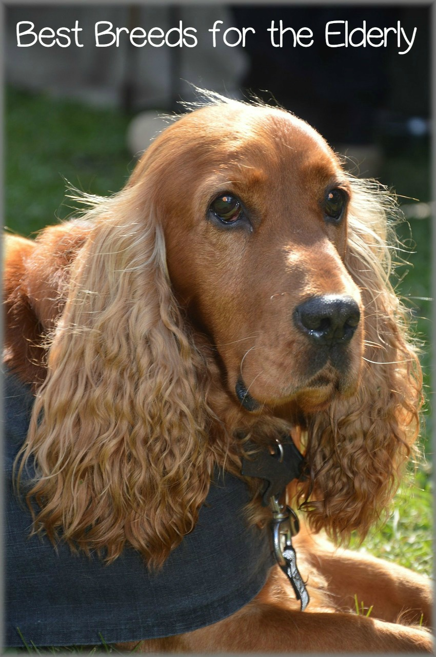 Best Therapy Dog Breeds For Elderly