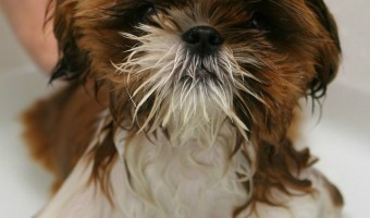 Hypoallergenic dog shampoo is a great way to keep your dog and your home clean. Here are some of the highest rated hypoallergenic dog shampoos available.