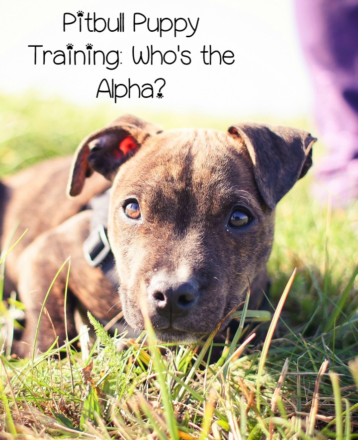 Pitbull Puppy Training Tips – Who's the Alpha?