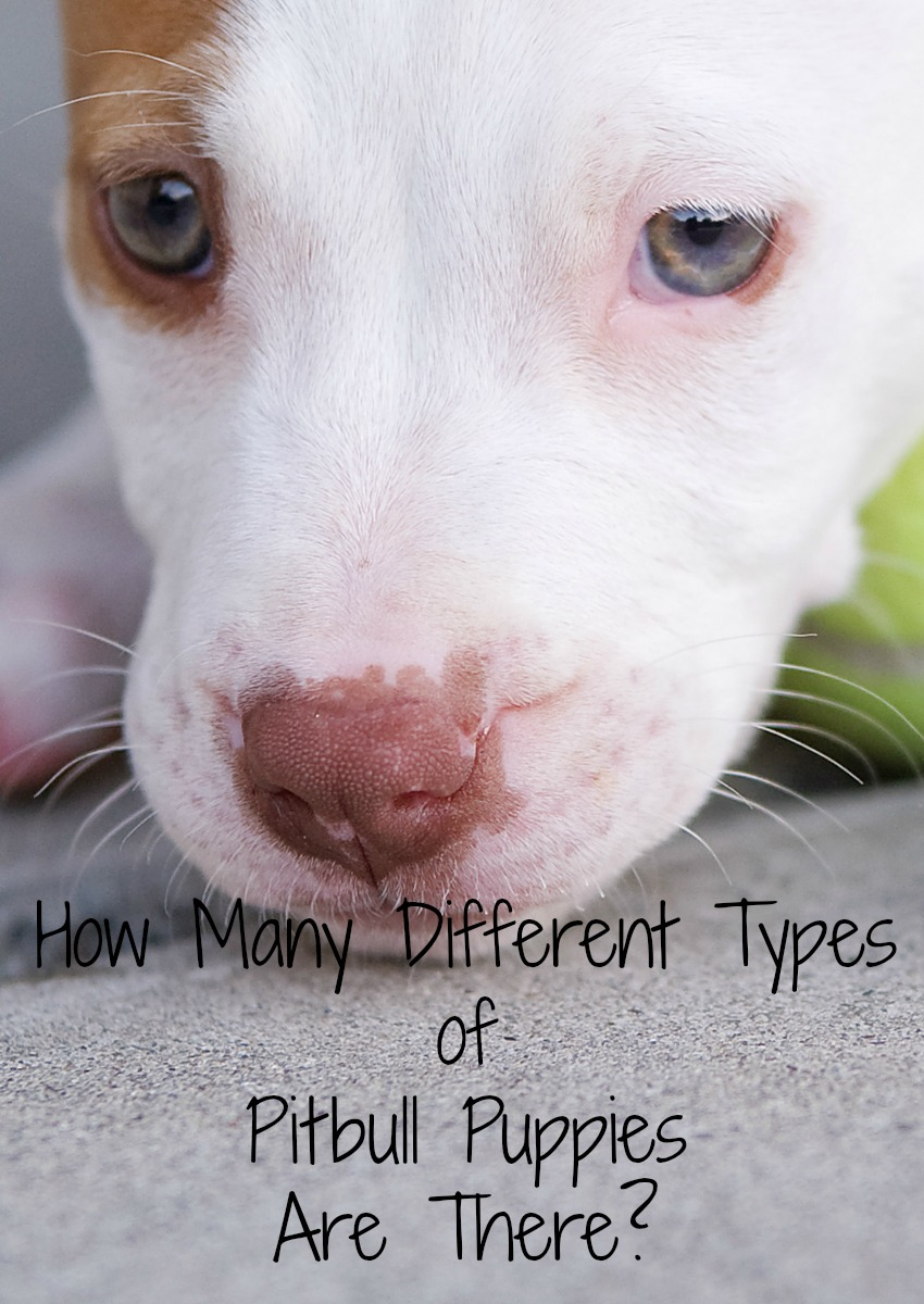 How Many Different Types Of Pitbull Puppies Are There