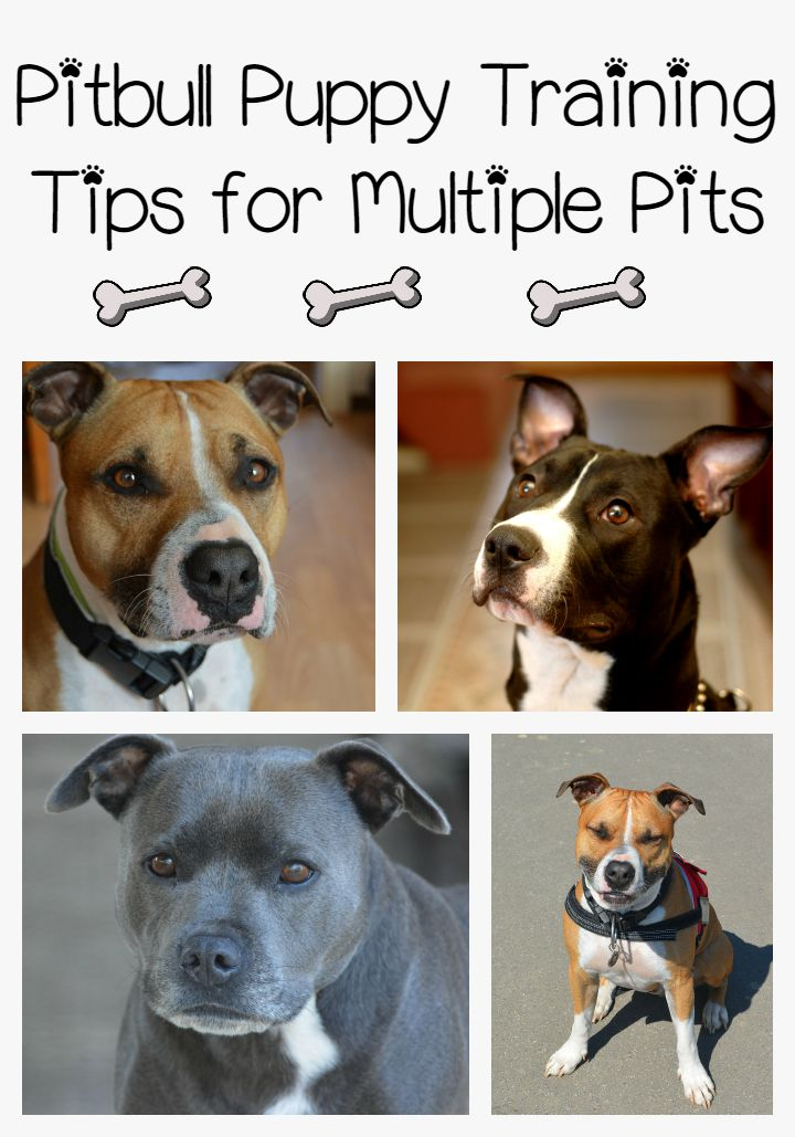 Pitbull Puppy Training Tips for Multiple Pits