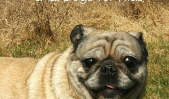 If you're looking for one of the best small dogs for kids, look no further. I have the breed for you. The Pug! Learn more about this great breed!