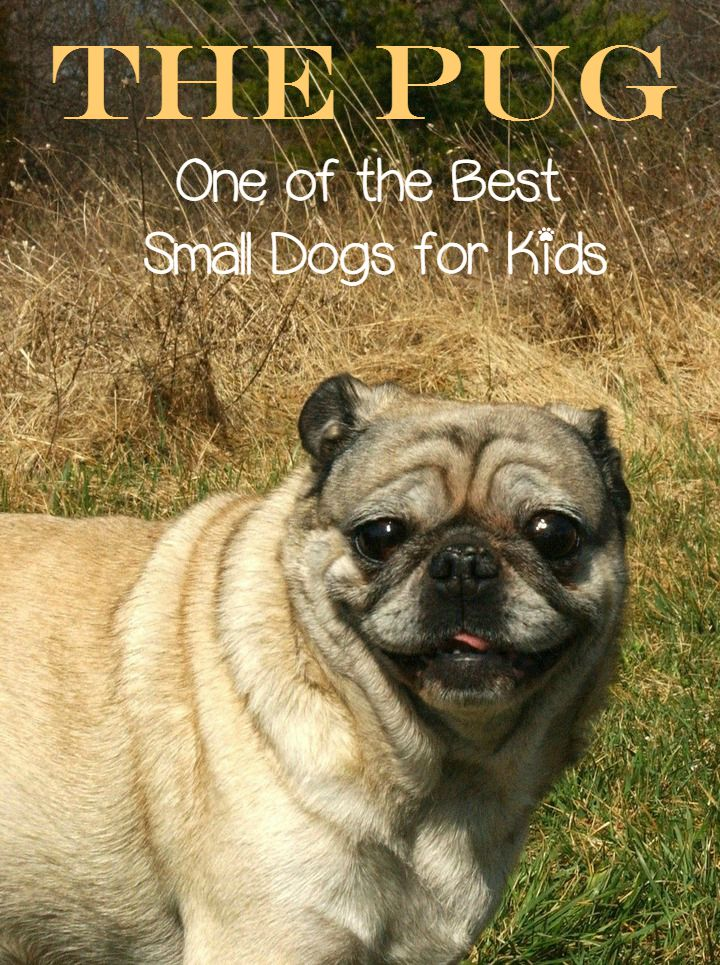 The Pug One Of The Best Small Dogs For Kids