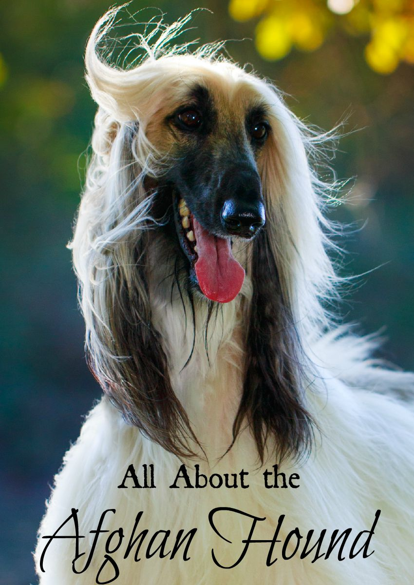 4 Things To Know About the Afghan Hound