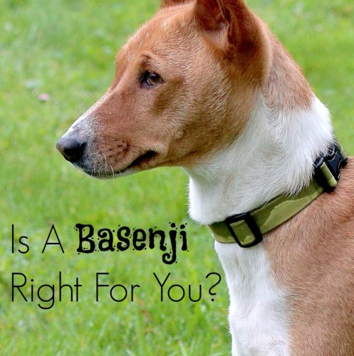 Wondering if the Basenji is the right hypoallergenic dog for you? Check out the details you need to know about this intriguing medium sized breed!
