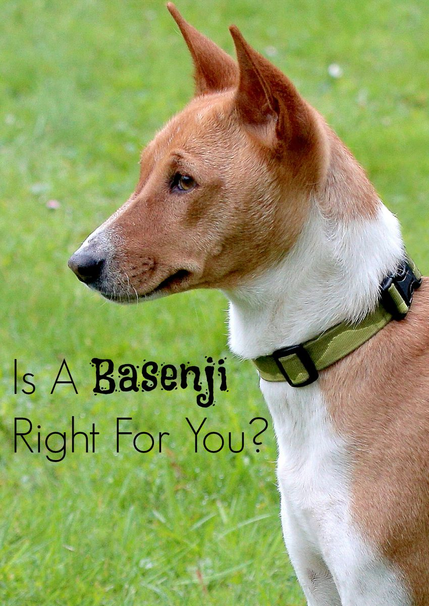 Is A Basenji Right For You?