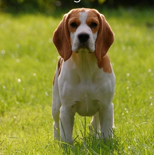The Beagle is a great small dog for kids. It's intelligent, loyal, loving, devoted, and it loves to play. This makes the beagle the perfect small dog.