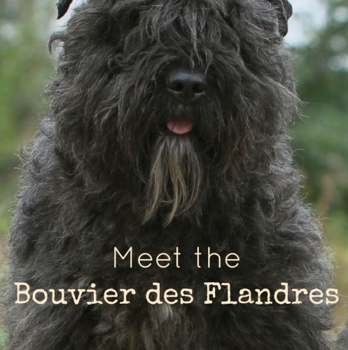 Meet the Bouvier des Flandres, a sweet large-breed hypoallergenic dog! Check out all the details about this big guy a& decide if he's right for you!
