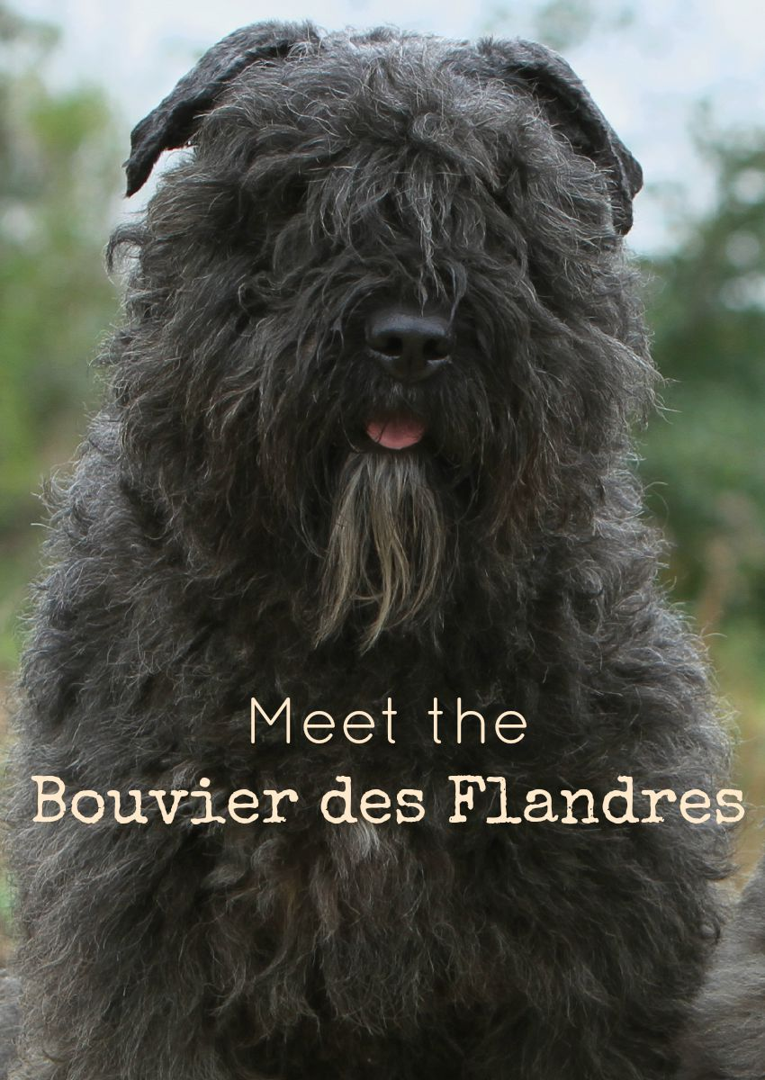 Meet the Bouvier des Flandres