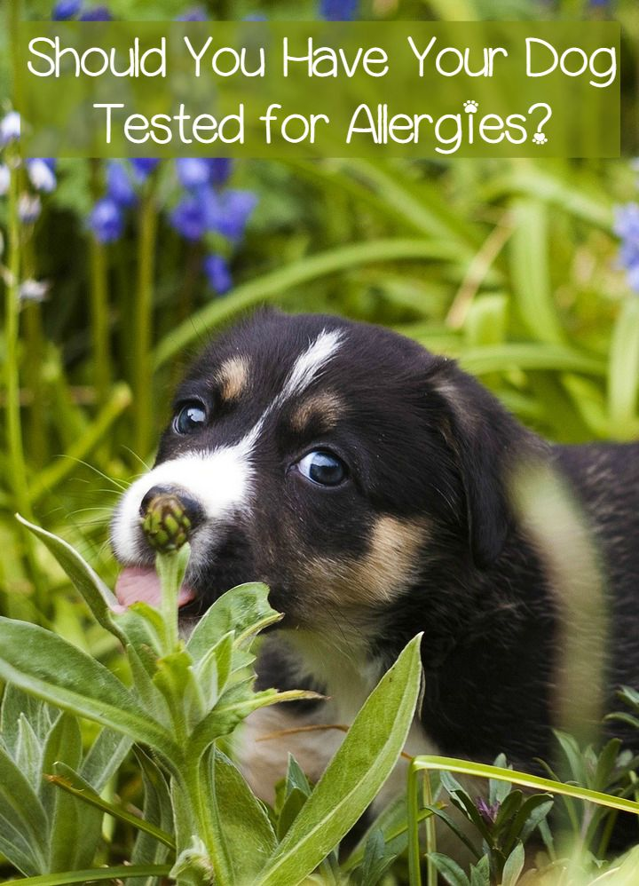 Allergy Tests – Should Dogs Have Them