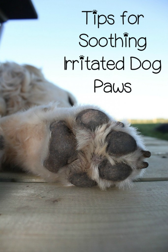 Irritated Dog Paws How To Stop It Dogvills