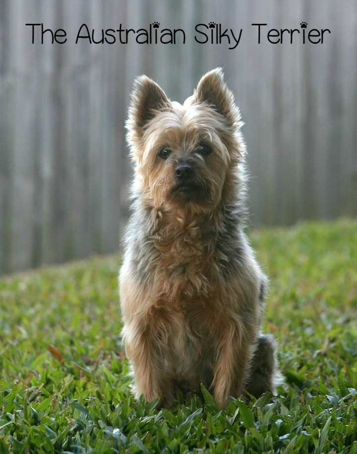 The Australian Silky Terrier – A Little Big Dog