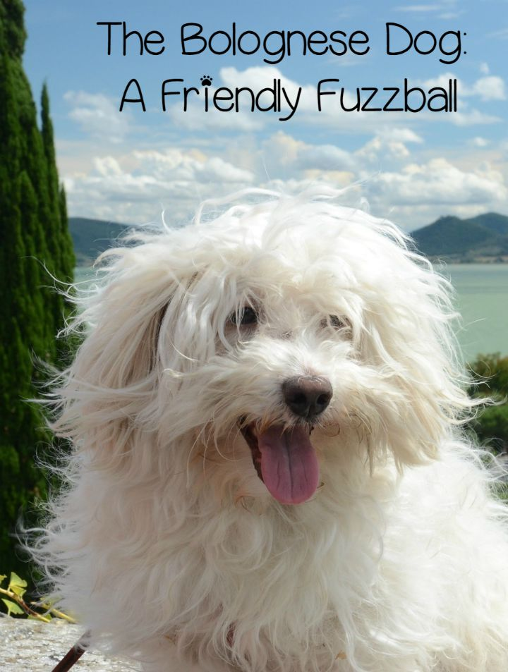 Bolognese Dog – A Friendly Fuzzball