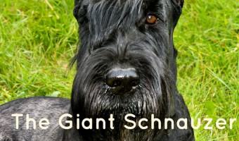 The Giant Schnauzer is one strong-willed large hypoallergenic dog, but he's also incredibly loyal to his family. Learn more about this great breed!