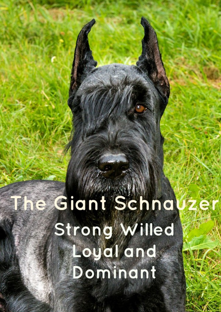 The Giant Schnauzer A Loyal Large Hypoallergenic Dog