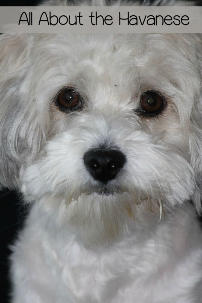 The Havanese small hypoallergenic dog is an excellent family pet. Check out more about this pooch that was bred as a companion for Cuban aristocracy!