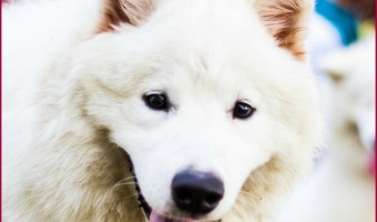 The Samoyed is a large breed, densely furred dog. These tips on Samoyed care will help you keep them clean and beautiful.