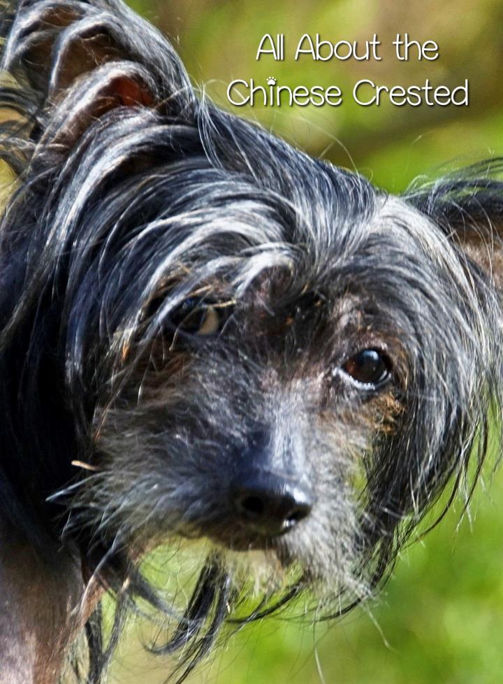 The Chinese Crested Dog: A Unique Companion for Your Family