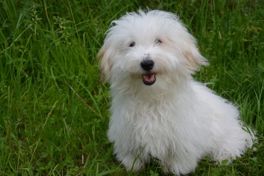 The Coton de Tulear is the perfect family companion. Learn everything you need to know about this clownish, sweet-natured hypoallergenic dog, including health, temperament, care, and lifespan!