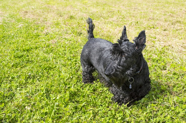 Small Hypoallergenic Dog Breeds - Terriers
