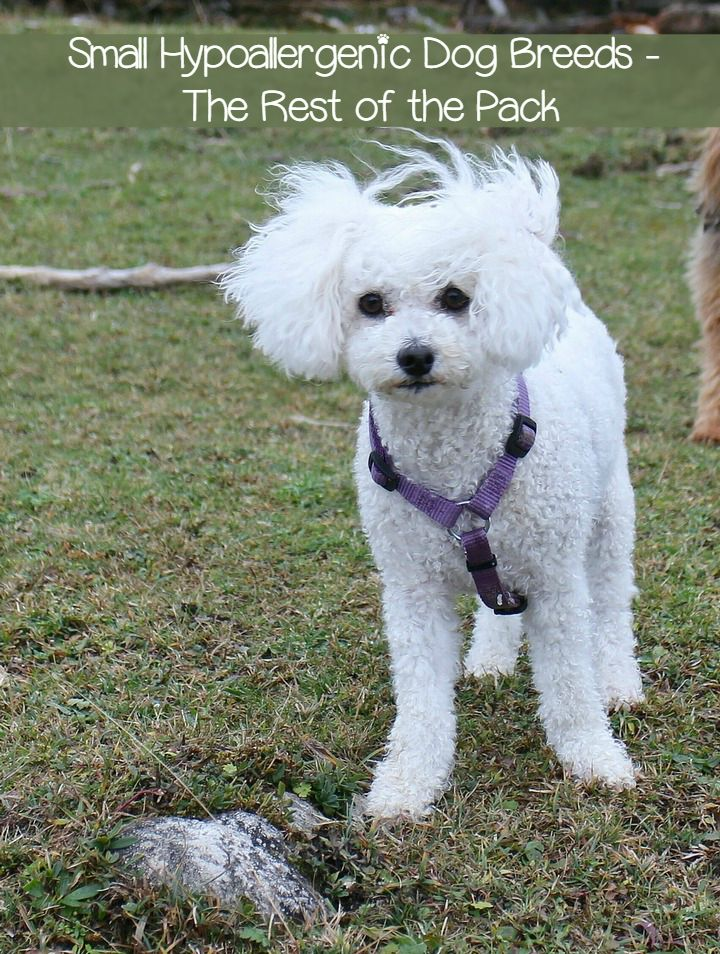 Small Hypoallergenic Dog Breeds – The Rest of the Pack