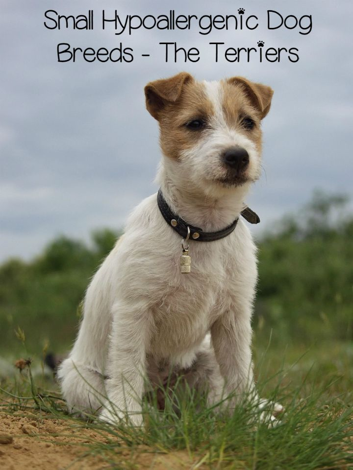 ... - Miniature Terriers Dog Breeds List Of All Small Dog Breeds Spaniel