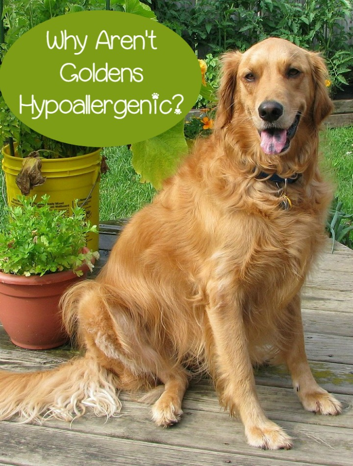 Are Golden Retrievers Hypoallergenic Dogs?