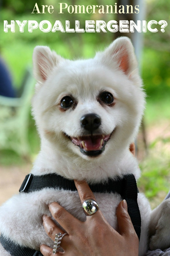 Pomeranian Puppies: Are They Hypoallergenic?