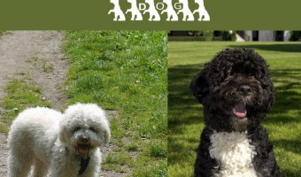 The Lagotto Romagnolo and Portuguese Water Dog are similar in spirit if not in size. Both the Lagotto Romagnolo and PWD make great family companions.