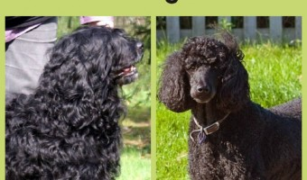 The Standard Poodle and Portuguese Water Dog are both excellent family dogs. Both the Standard Poodle and PWD are intelligent and loving AND hypoallergenic.