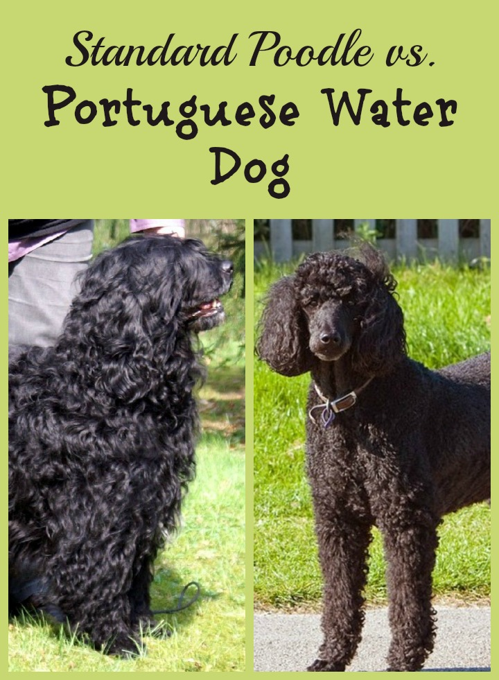 portuguese water dog m...