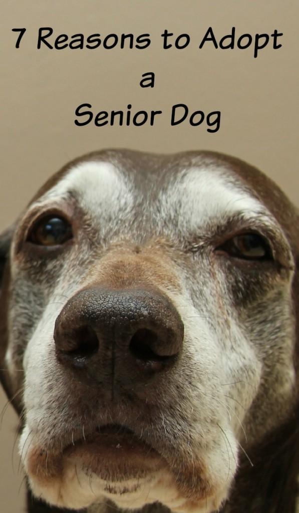 7 Reasons to Adopt a Senior Dog