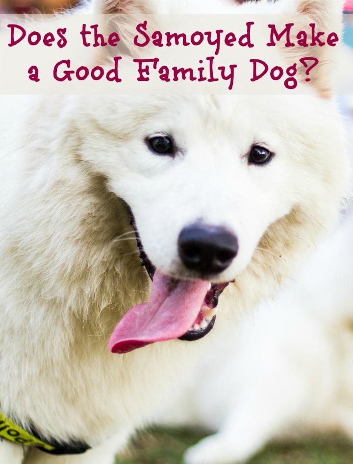 Does the Samoyed Make a Good Family Dog?
