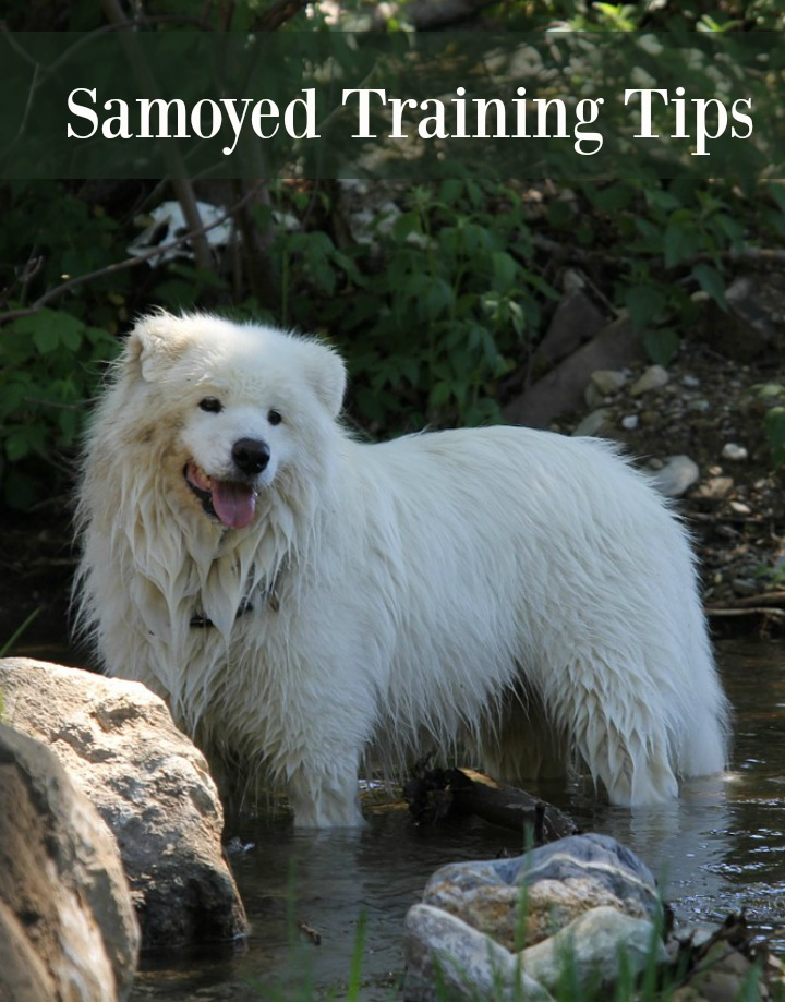 How to Properly Train Your Energetic Samoyed