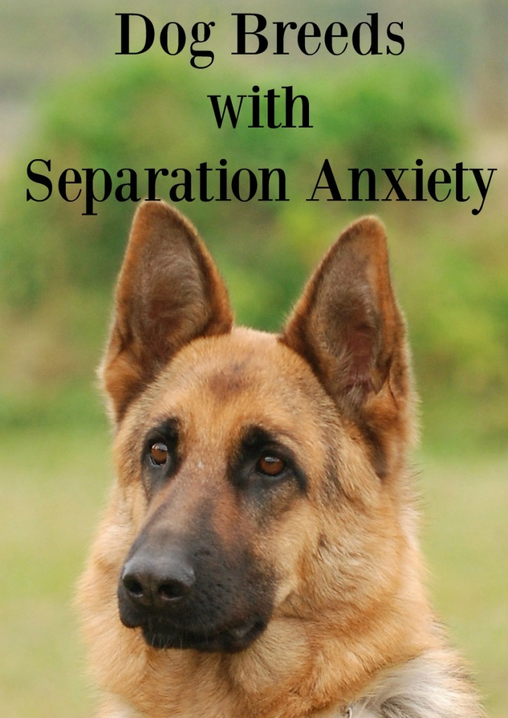 6 Dog Breeds With Separation Anxiety