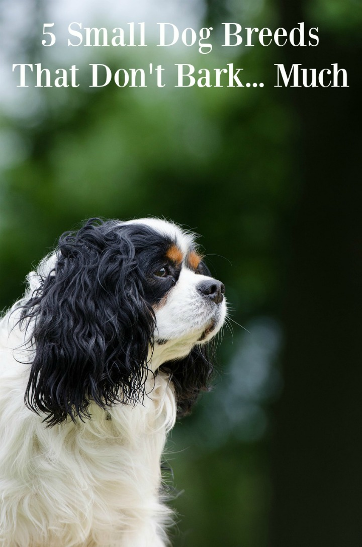 Small Dog Breeds That Don't Bark Much