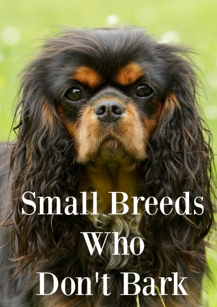 5 Small Dogs That Don T Bark Too Often