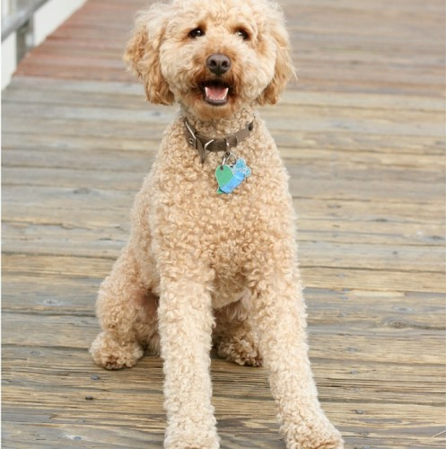 The Lagotto Romagnolo and Labradoodle make excellent family dogs. While the Lagottoa Romagnolo and Labradoodle are great companions, they are different.