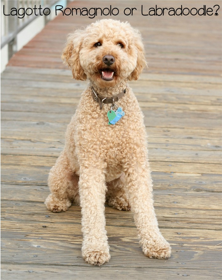 Lagotto Romagnolo vs. Labradoodle: What Makes them Different?