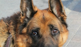 Looking for the best chew toys & bones for German Shepherds? Check out our top picks!