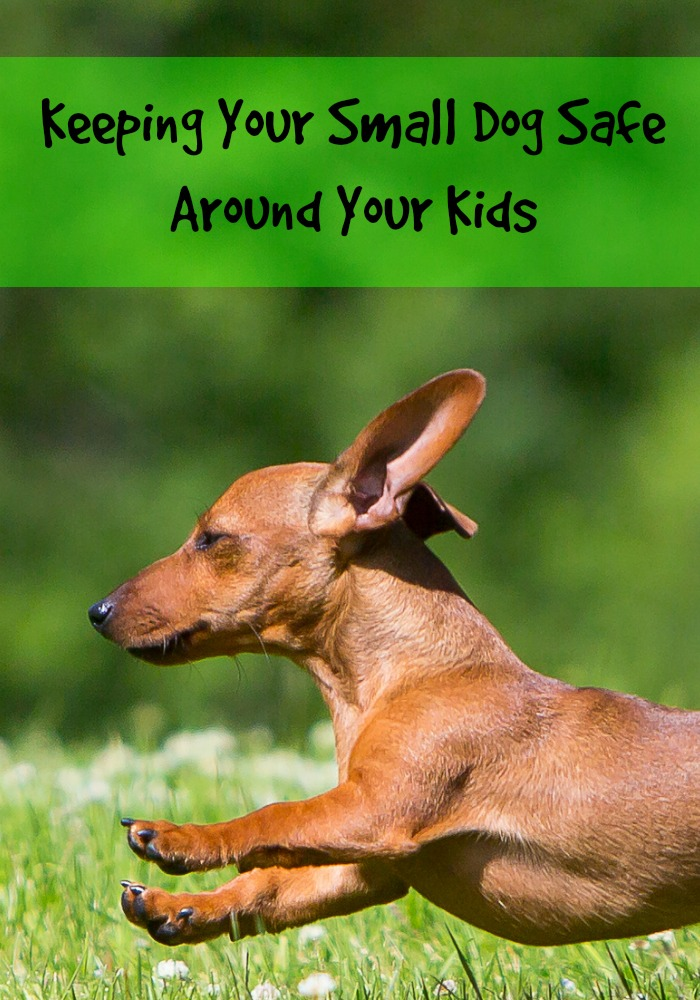 Keeping Your Small Dog Safe Around Your Kids