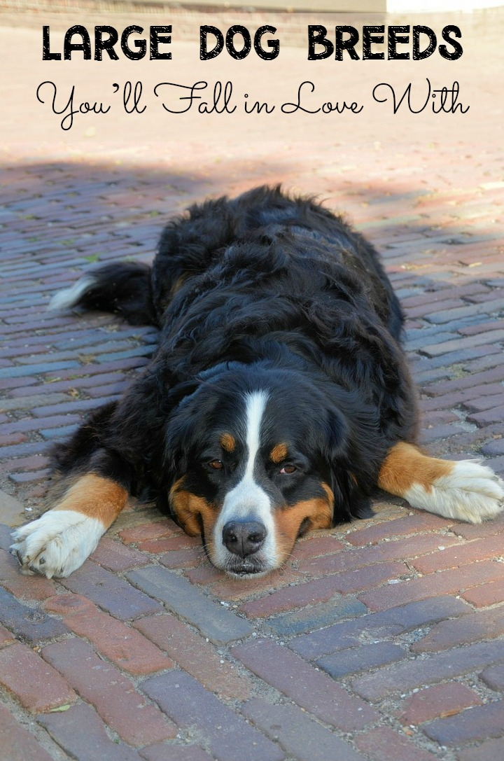 Large Dog Breeds You'll Fall in Love With