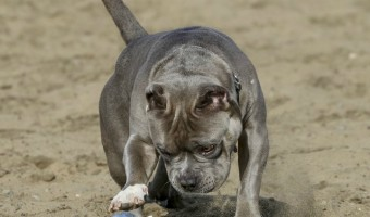 These training games will help you forge a strong bond with your Pitbull. Training games for your Pitbull are a fun way to promote responsive listening.