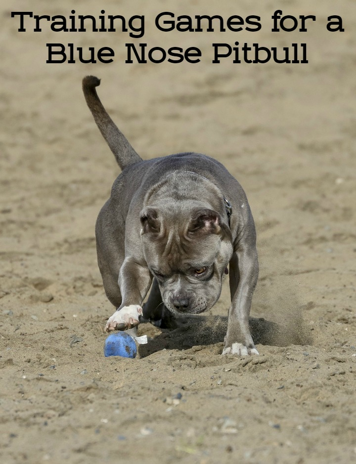 Training Games for a Blue Nose Pitbull