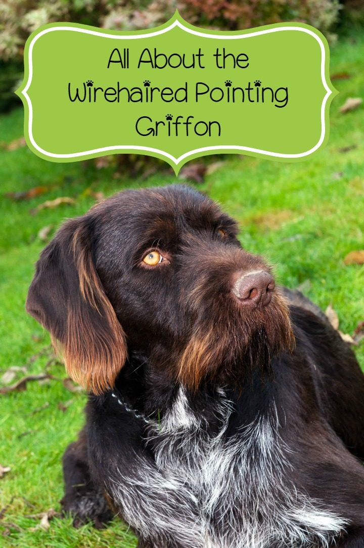 Wirehaired Pointing Griffon – Great for People with Allergies